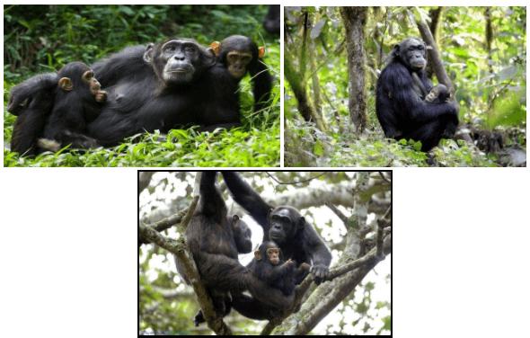 Kibali Chimps